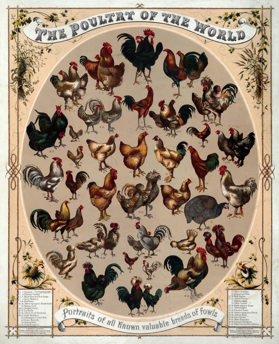 Twenty-nine varieties of chicken (and one Guinea Fowl).