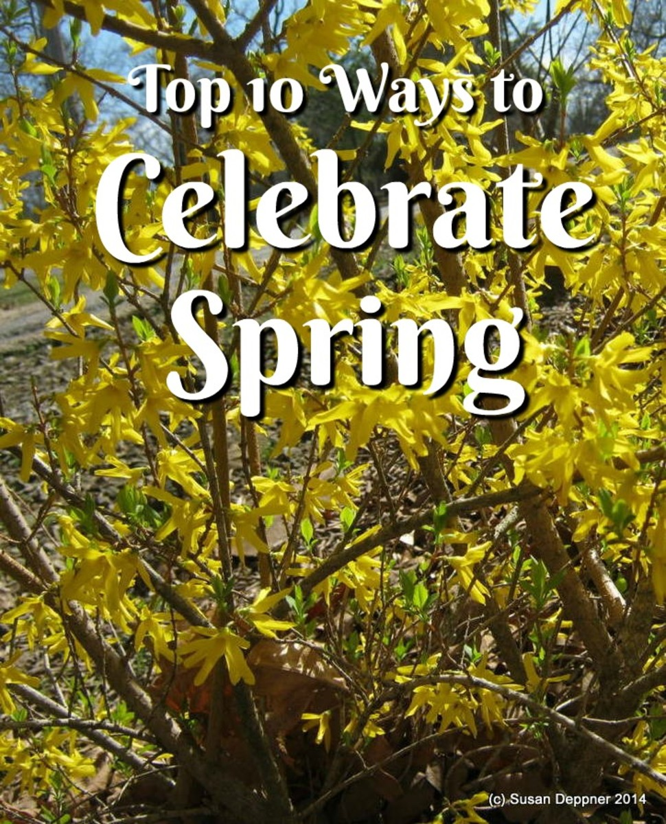 Bright Yellow Forsythia Bushes Announce the Arrival of Spring