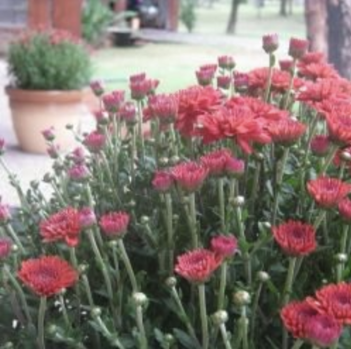 What To Do With Mums In The Spring Dengarden
