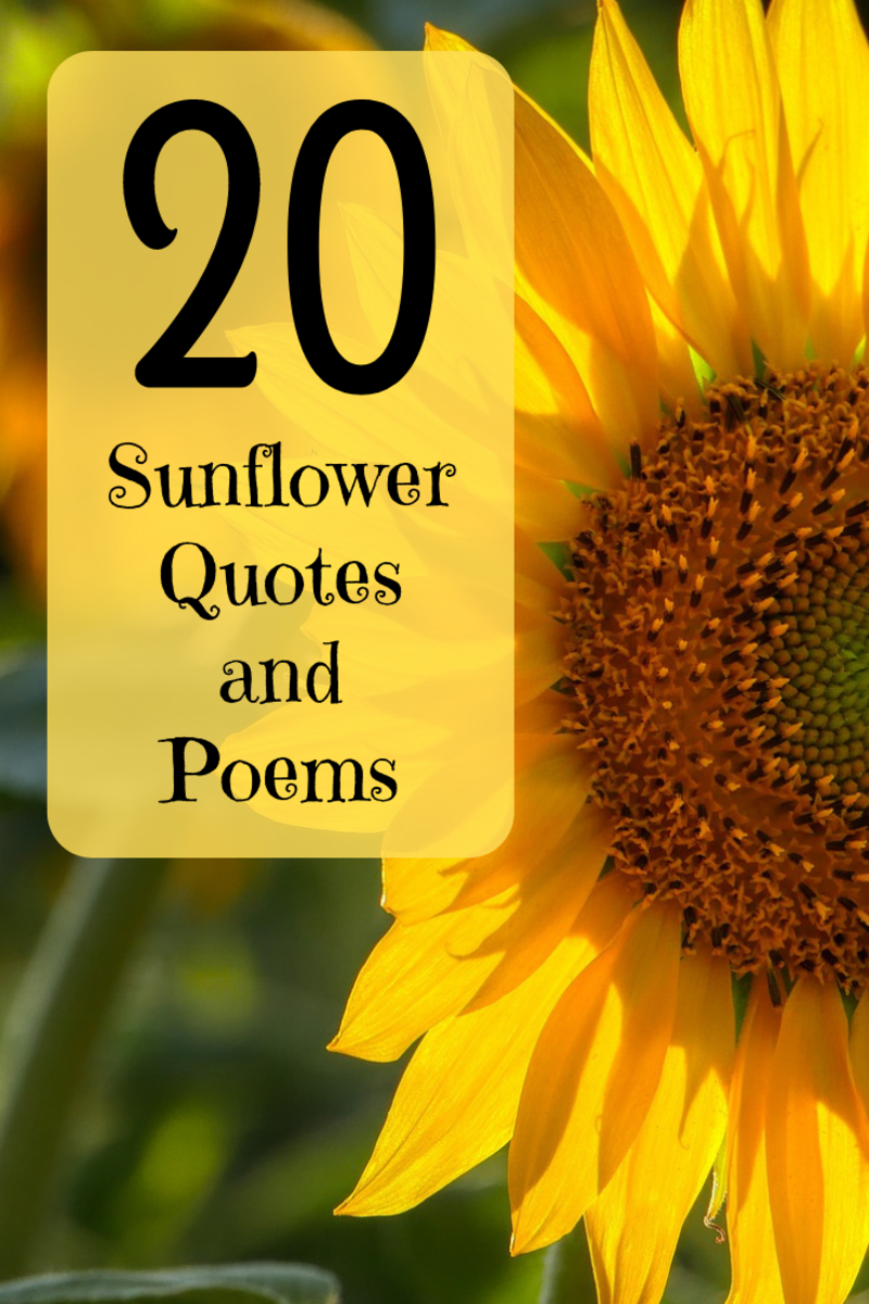 best and happiest sunflower quotes poems and sayings