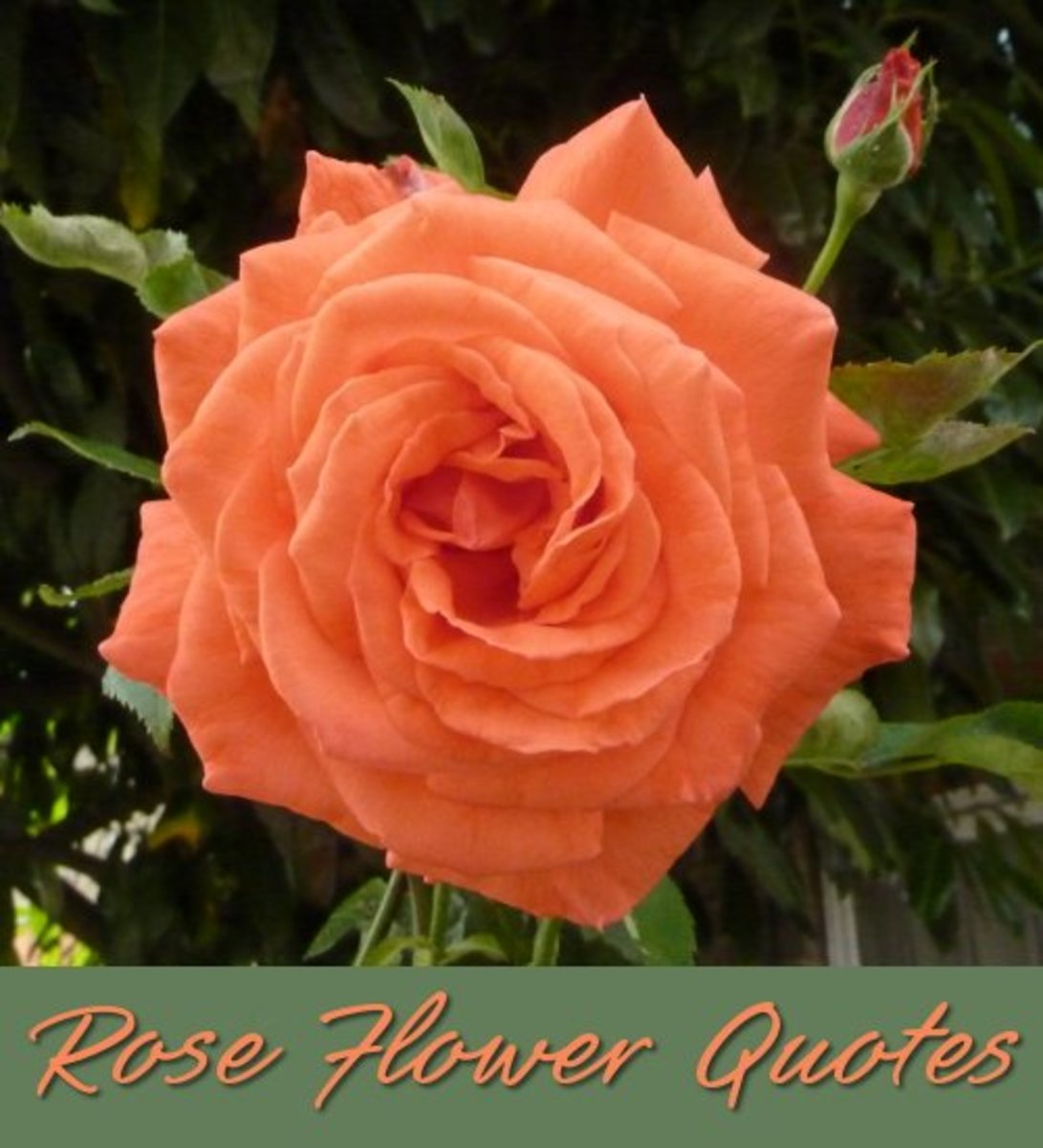 Rose flower quotations and sentiments.