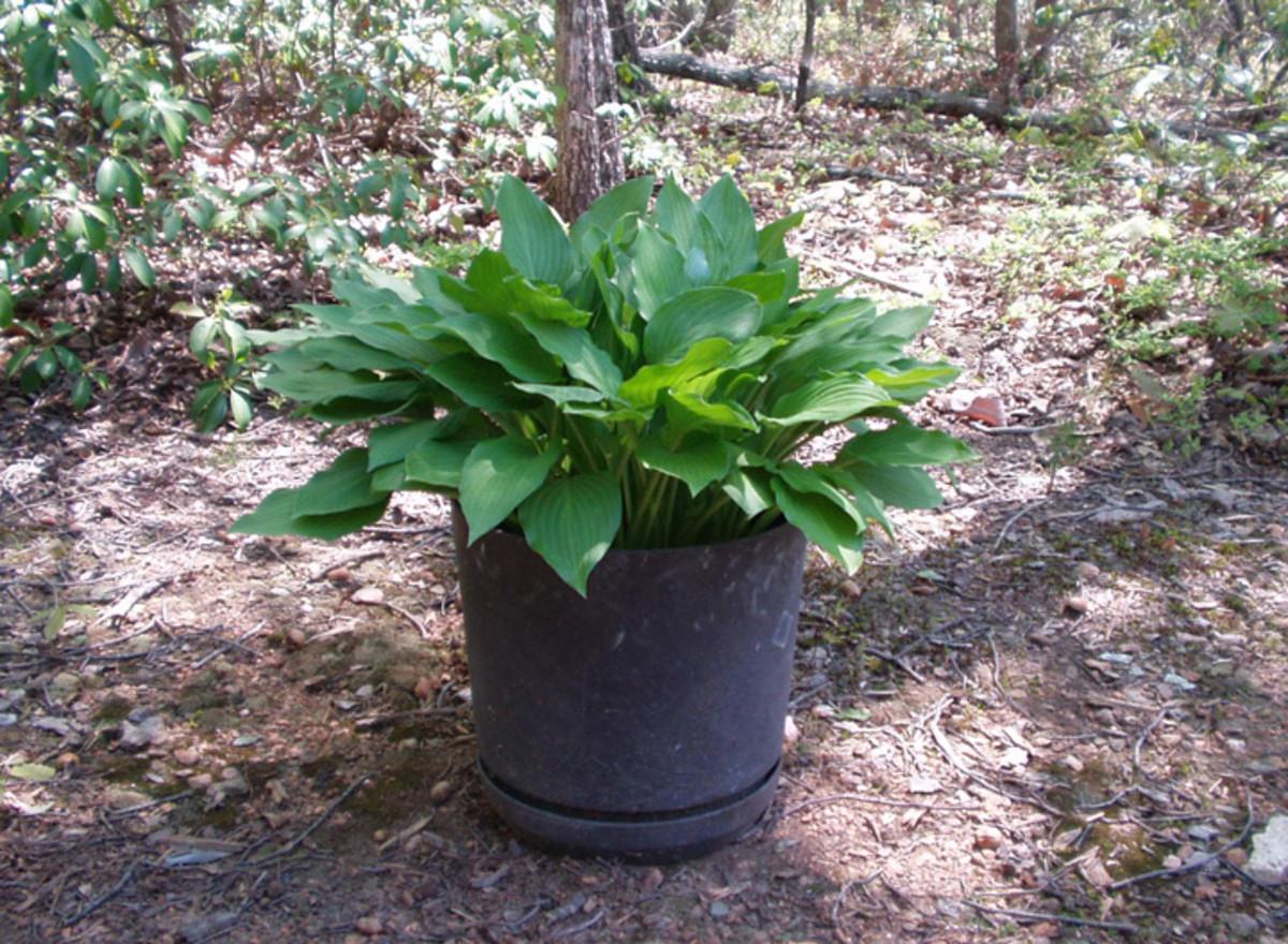My Hosta Plant