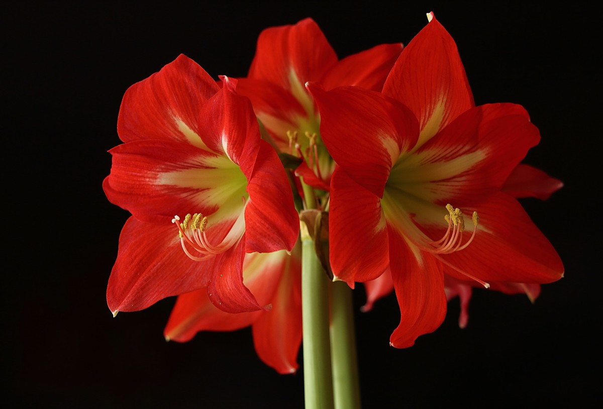 The Amaryllis flower.