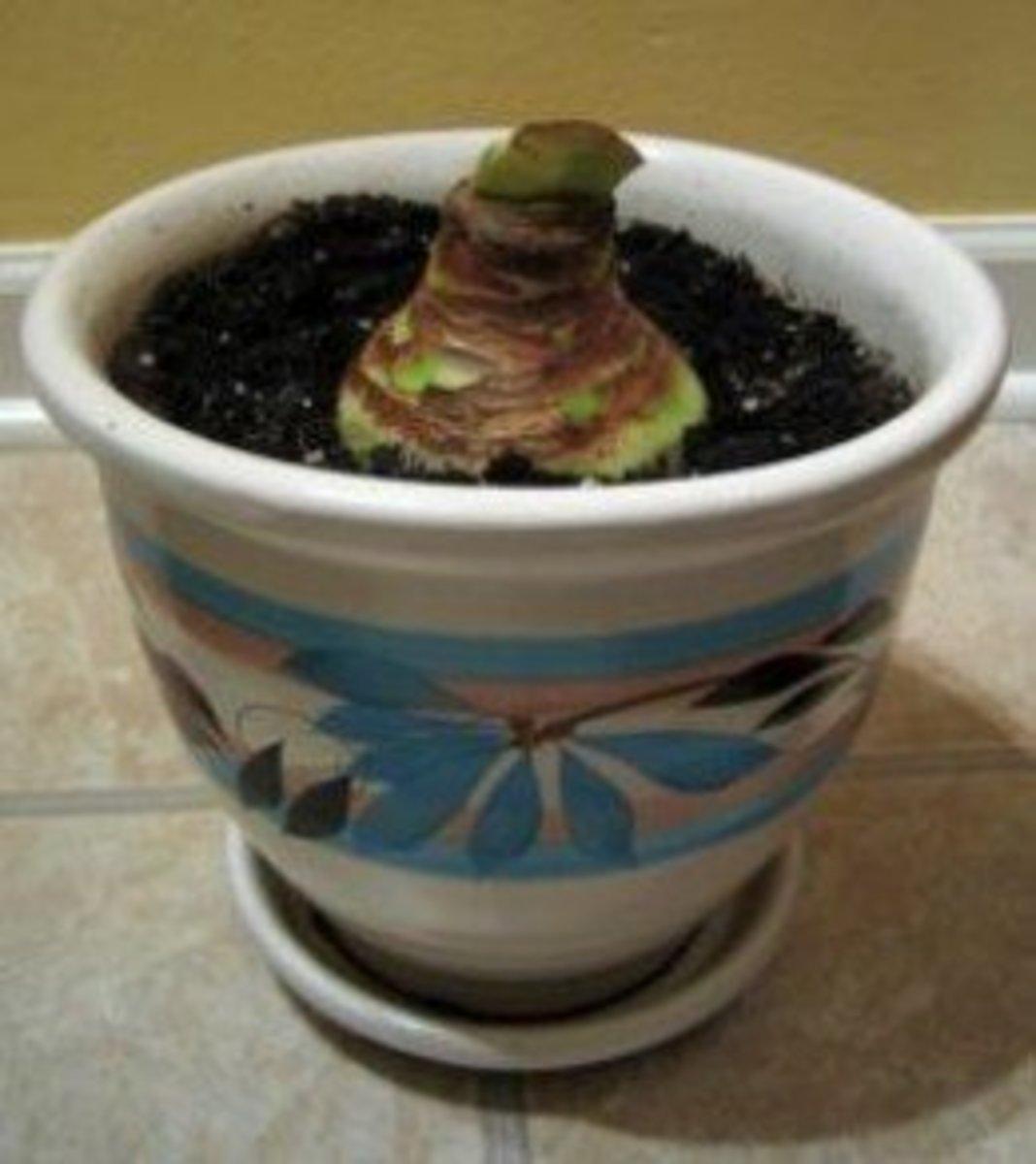 Newly potted Amaryllis bulb.