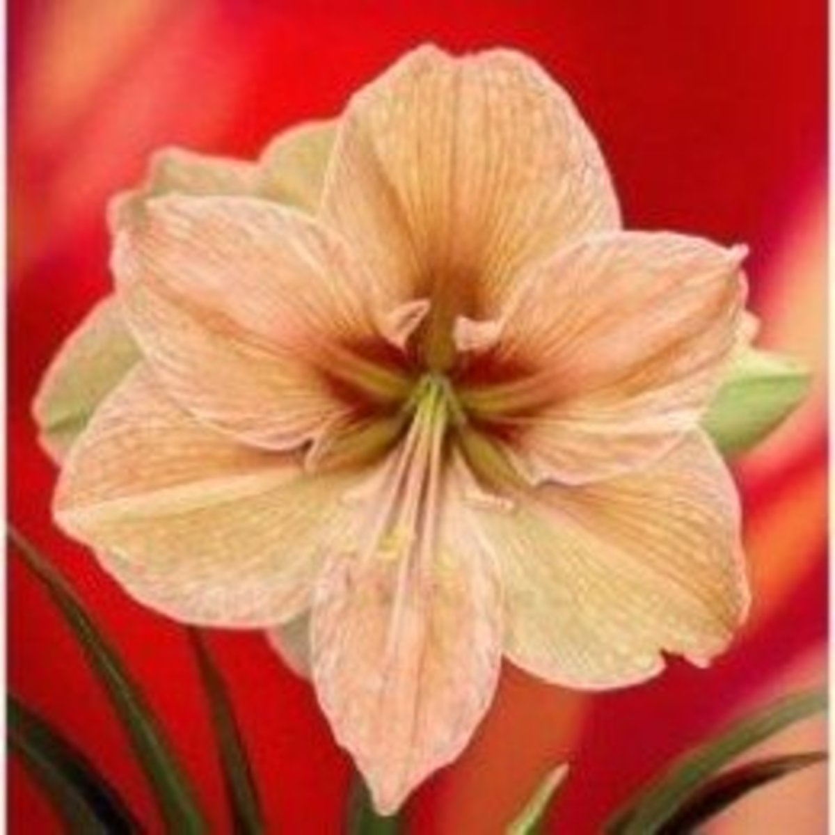 Re-grow your amaryllis