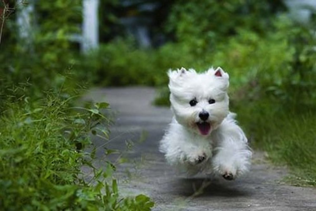 How To Choose A West Highland White Terrier