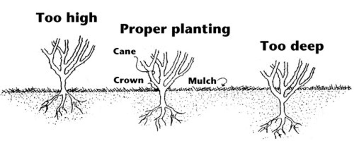 This graphic illustrates the optimal way to plant roses in the ground.