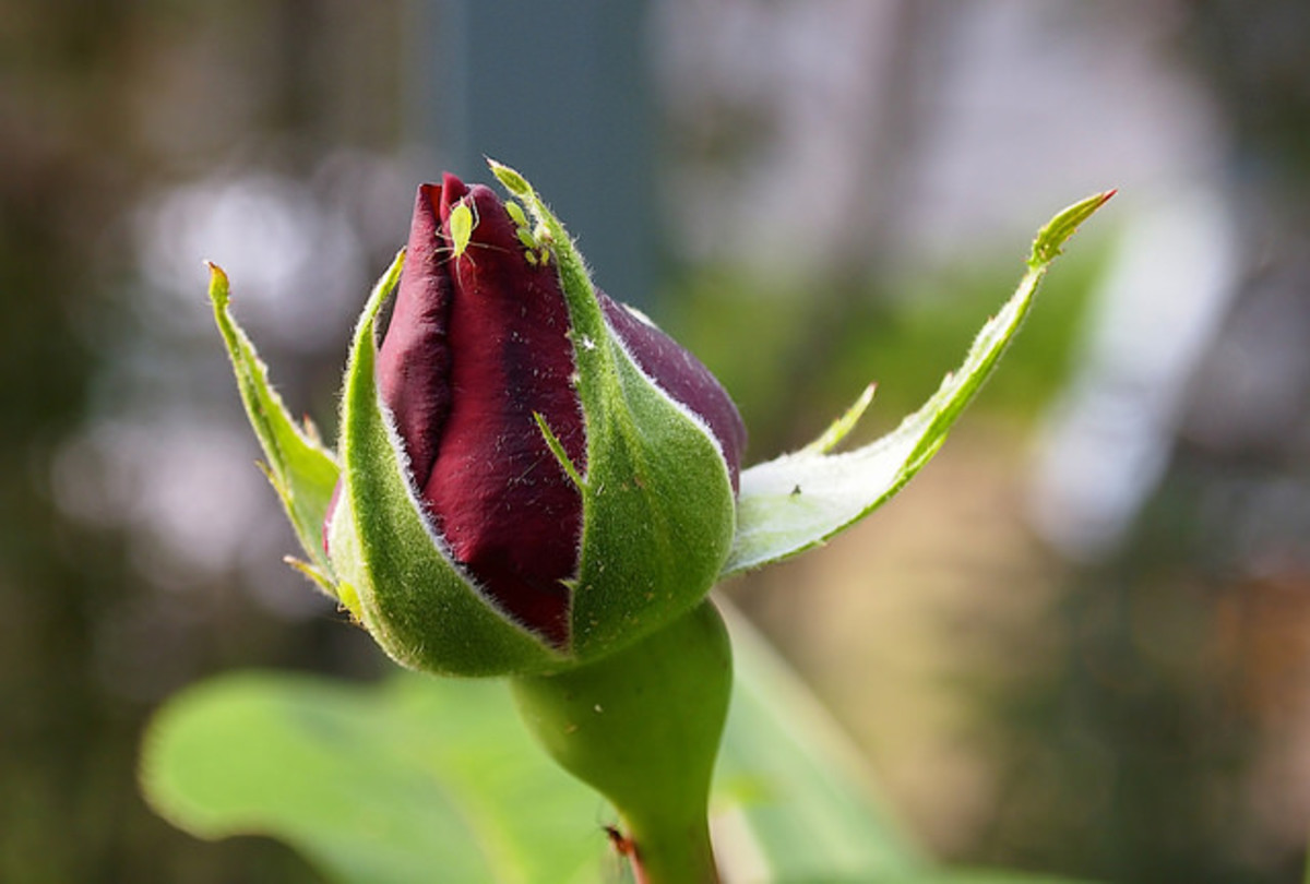 Aphids can damage your roses quite swiftly if left unattended.