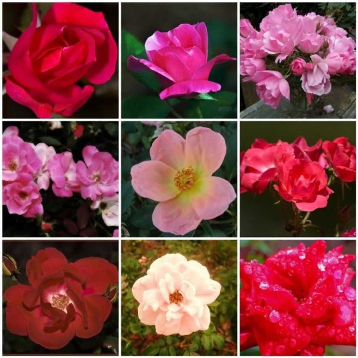 The Knock-Out Rose is easy to care for and blooms from early summer to late fall.