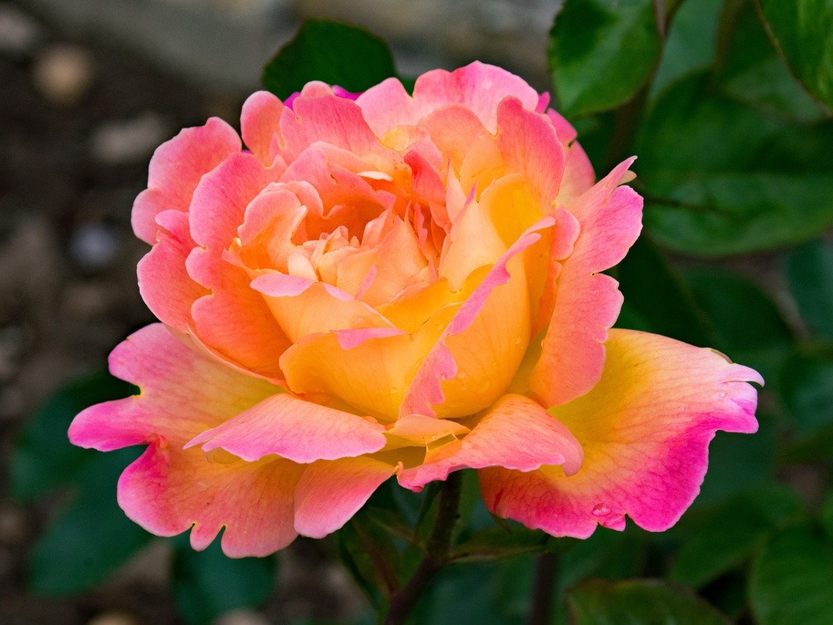 A gorgeous hybrid tea rose with notes of pink, yellow, and red.
