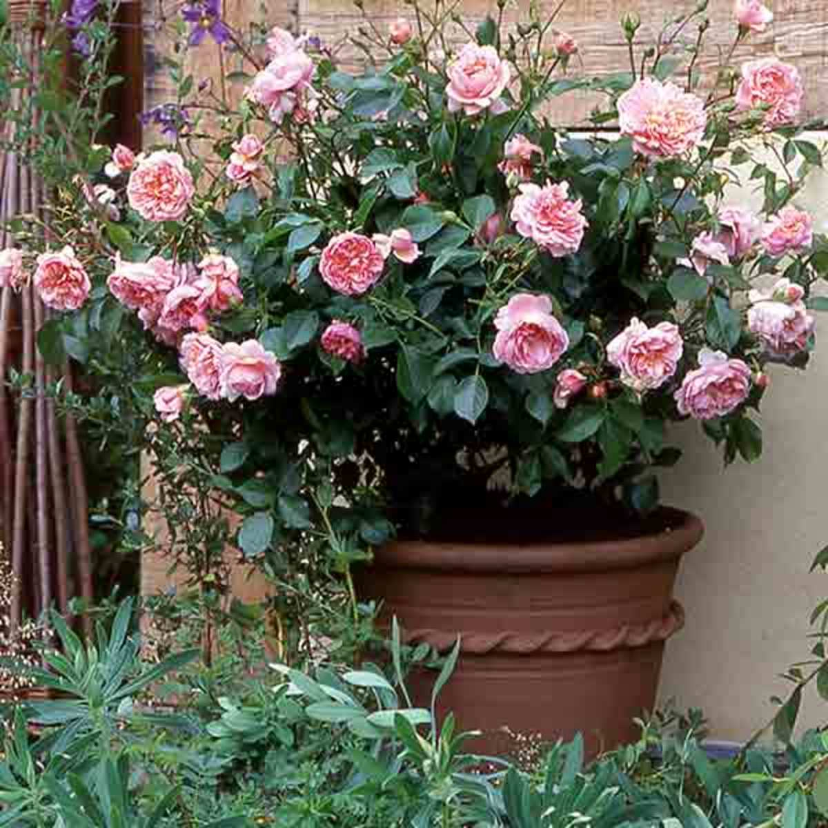 A rose bush thriving in a large container.