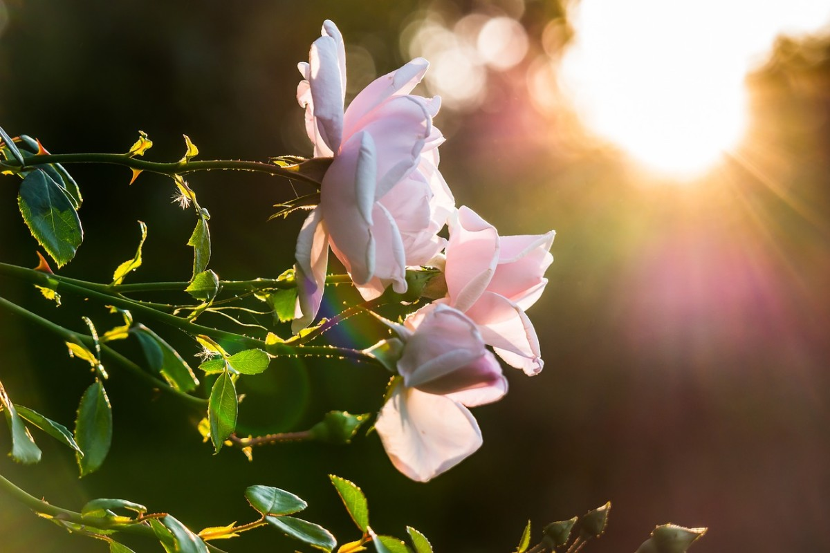 Roses need lots of sunlight—ideally at least seven hours a day—in order to bloom to their fullest potential.