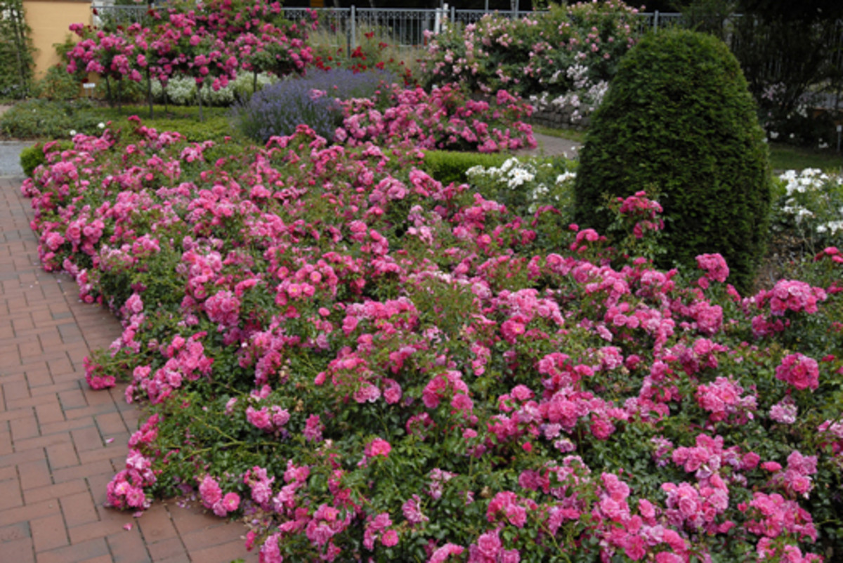 A beautiful display of carpet roses.