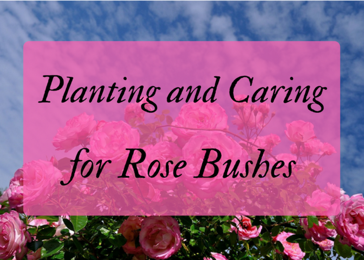 How to Plant and Care for Rose Bushes