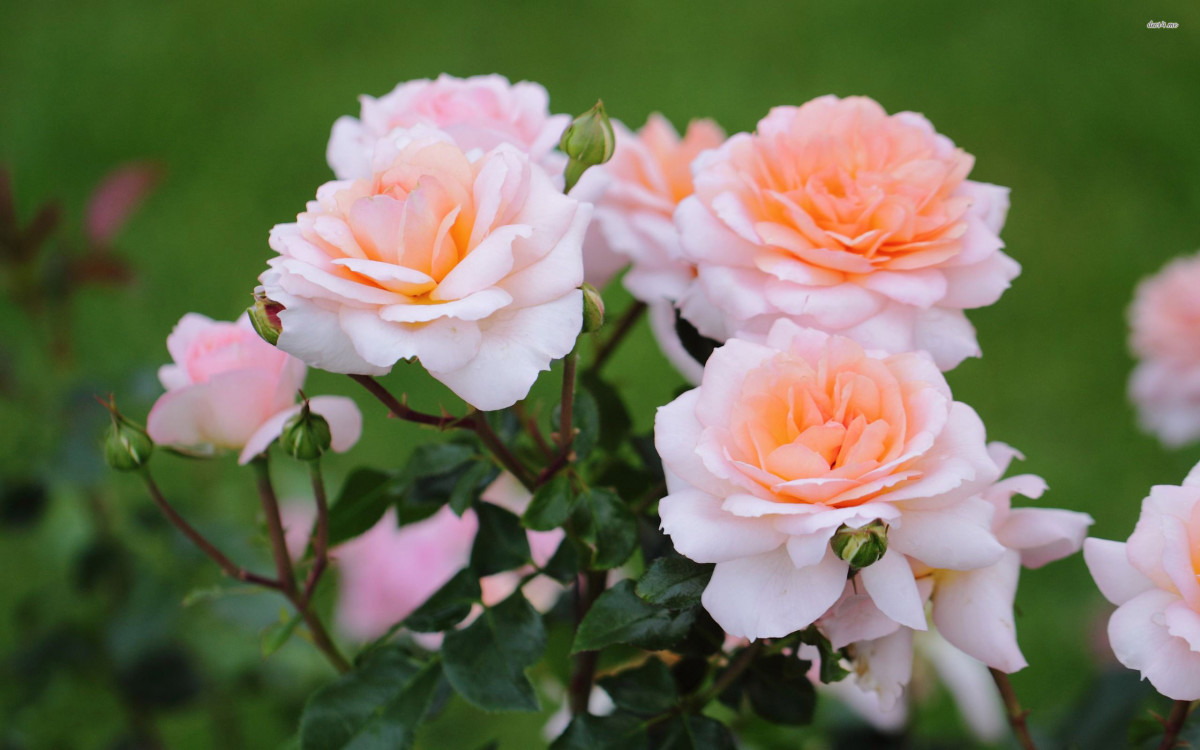 Planting And Care For Rose Bushes