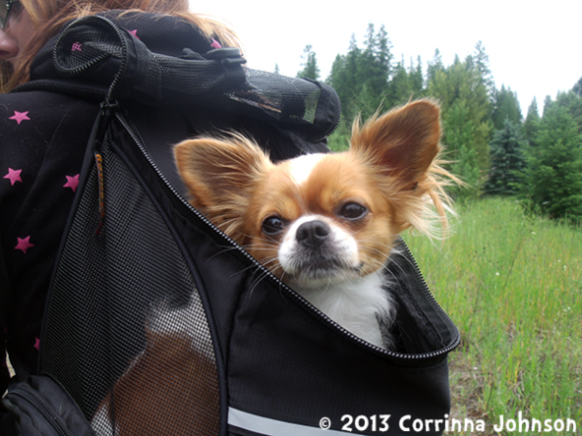 Gizmo, my long-haired Chihuahua loves going for strolls in his Outward Hound Backpack Carrier.
