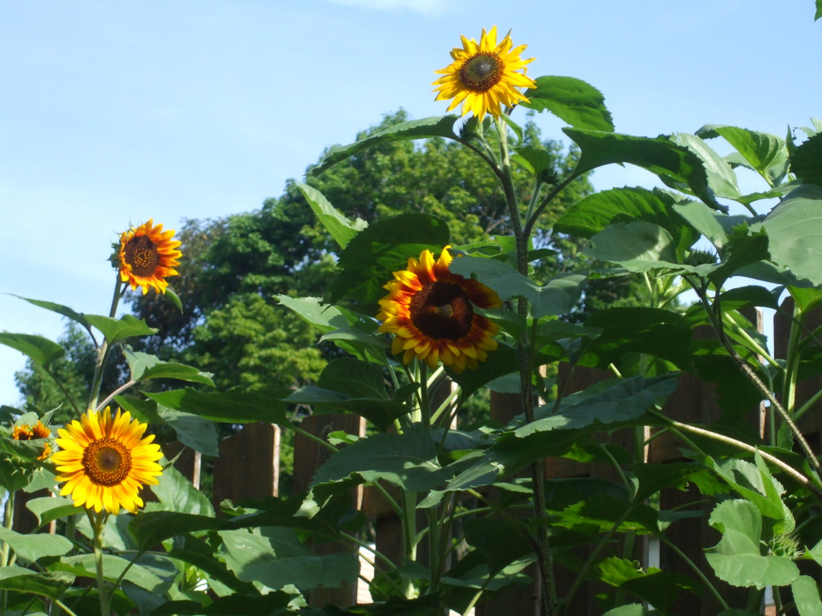 These sunflowers beautify the climate victory garden and feed both people and birds.