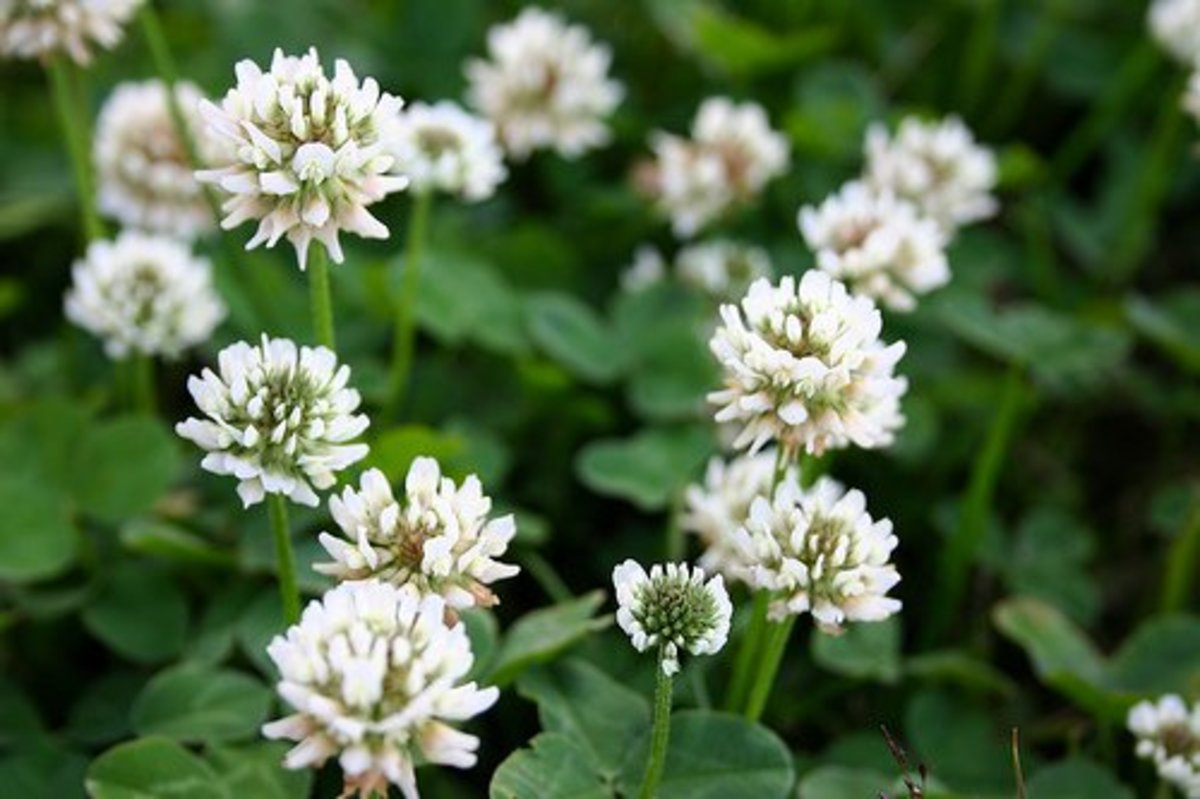 Advantages and Disadvantages of Clover Lawns