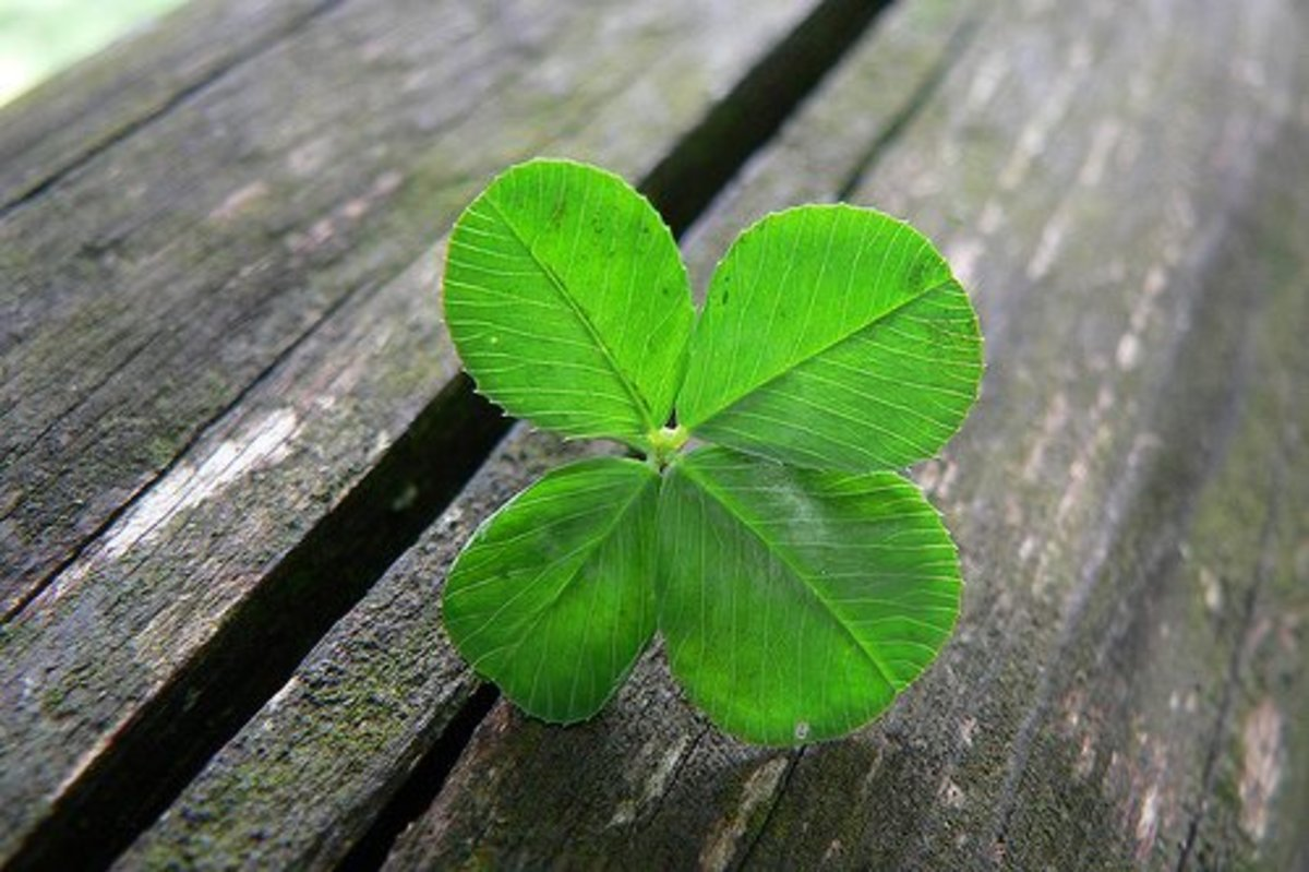 You may even find a four-leaf clover growing in your lawn!