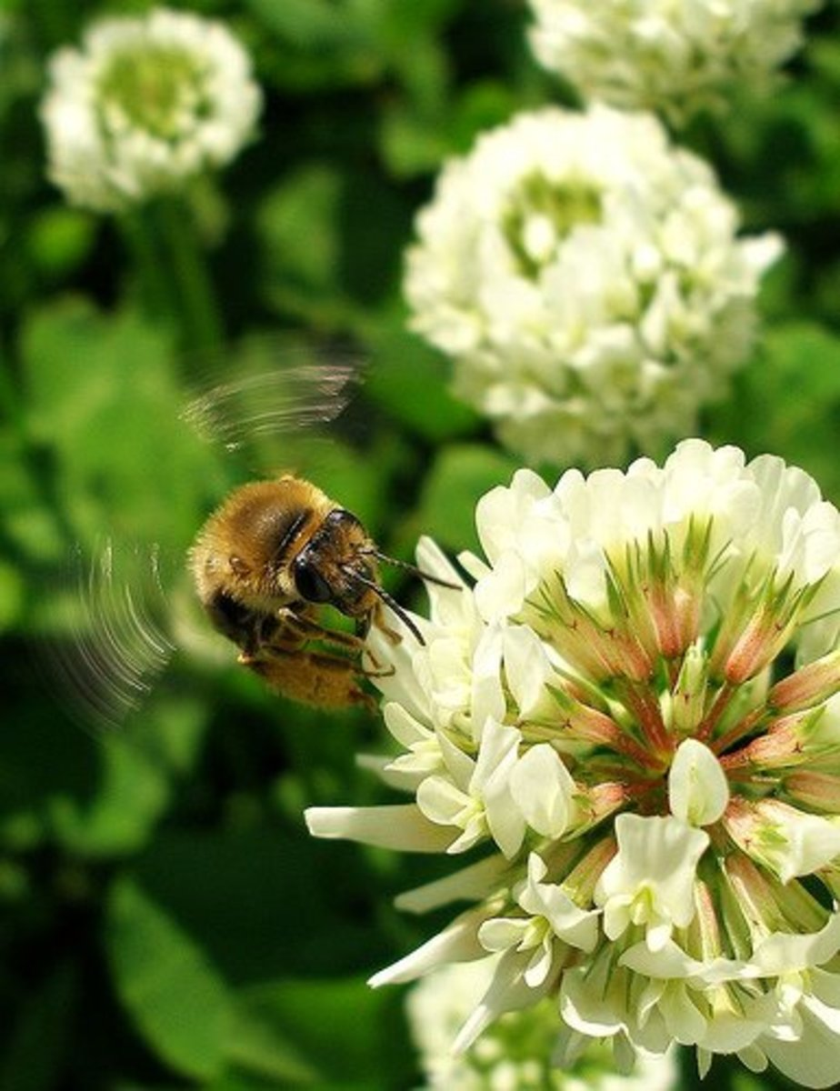 Clover blooms attract a lot of bees!