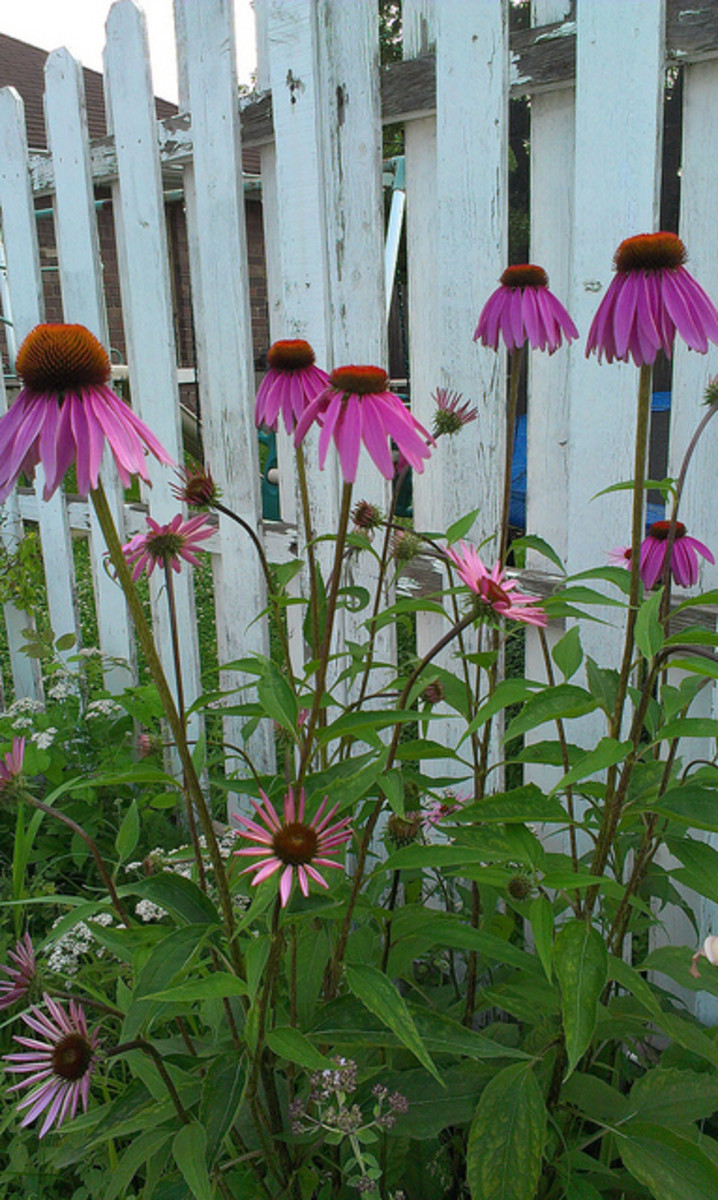 This picture shows a miix of two coneflower species in my garden.