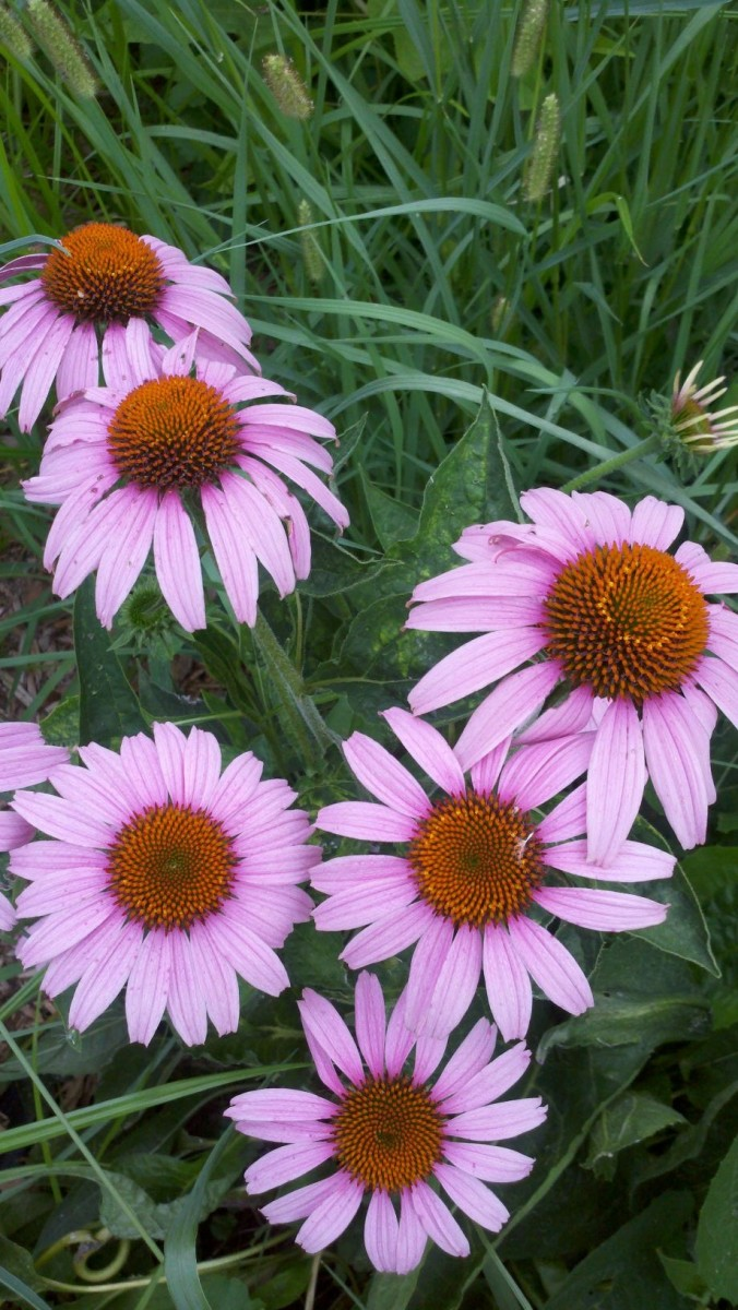 A grouping of blooming coneflowers.