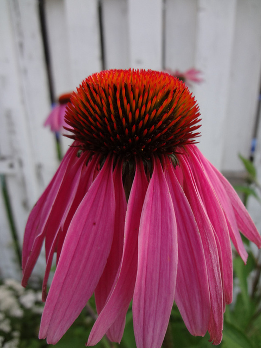 A beautiful coneflower (Echinacea purpurea).