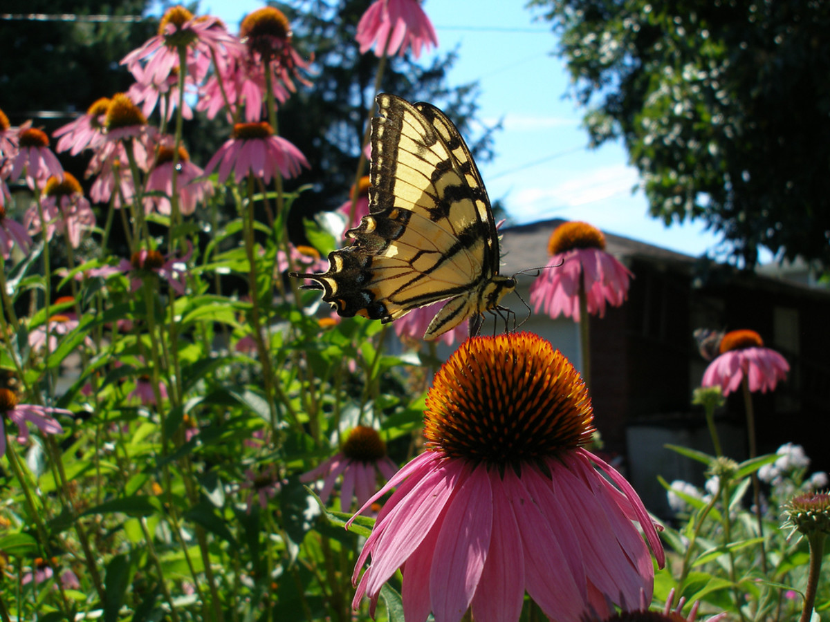 A yellow swallowtail butterfly perched on a coneflower.