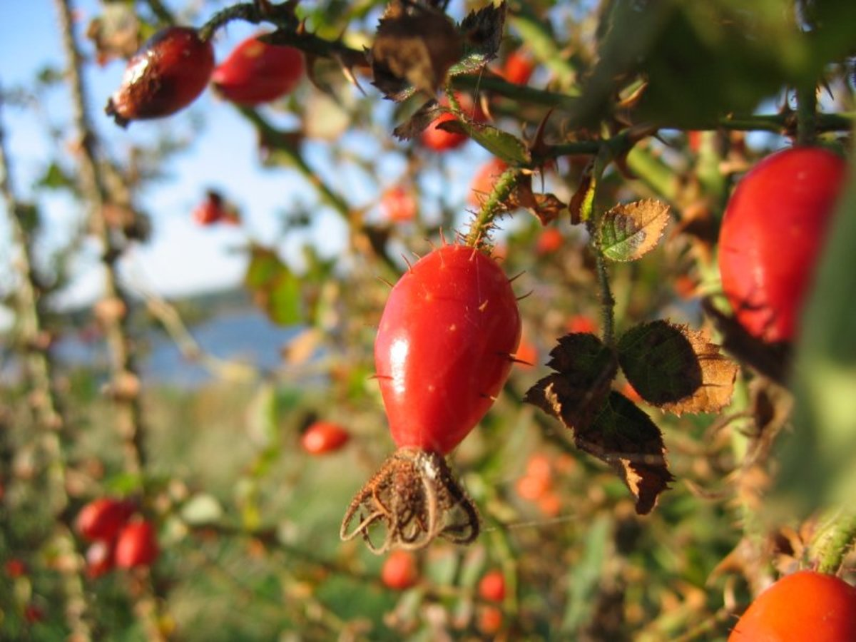 Eglantine rose hips are a good source of vitamin C.