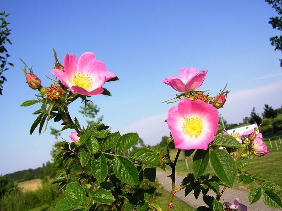 Eglantine rose flowers grow in clusters.