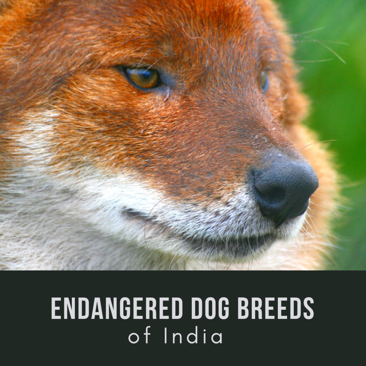 11 Endangered Indian Dog Breeds