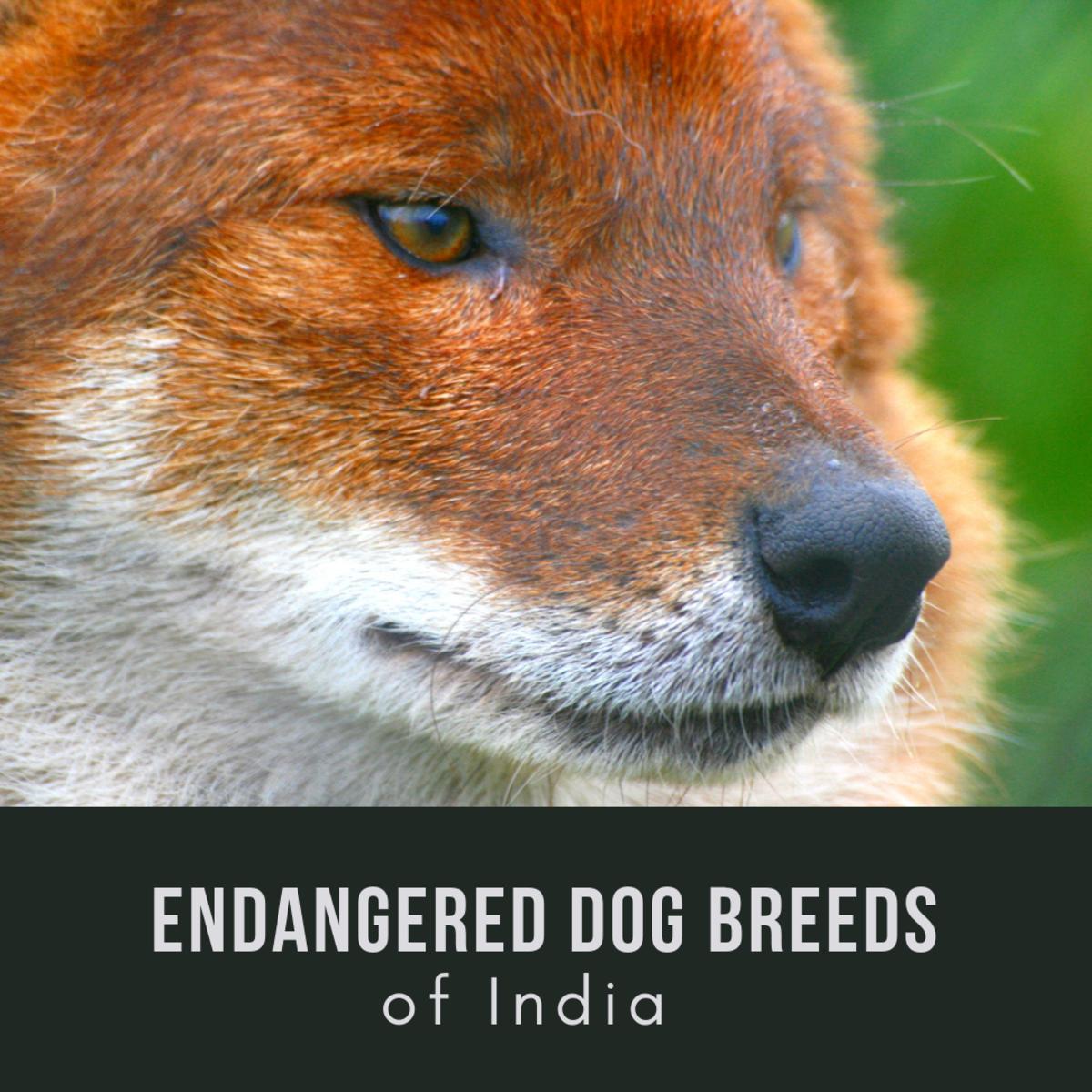 11 Excellent but Endangered Indian Dog Breeds