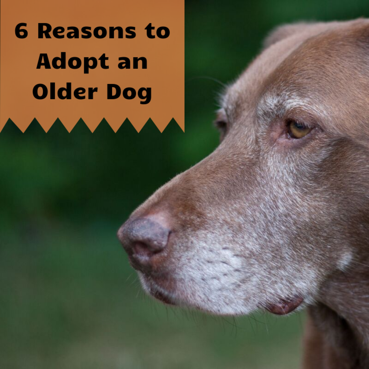 Older dogs are loyal, loving, and usually house trained!