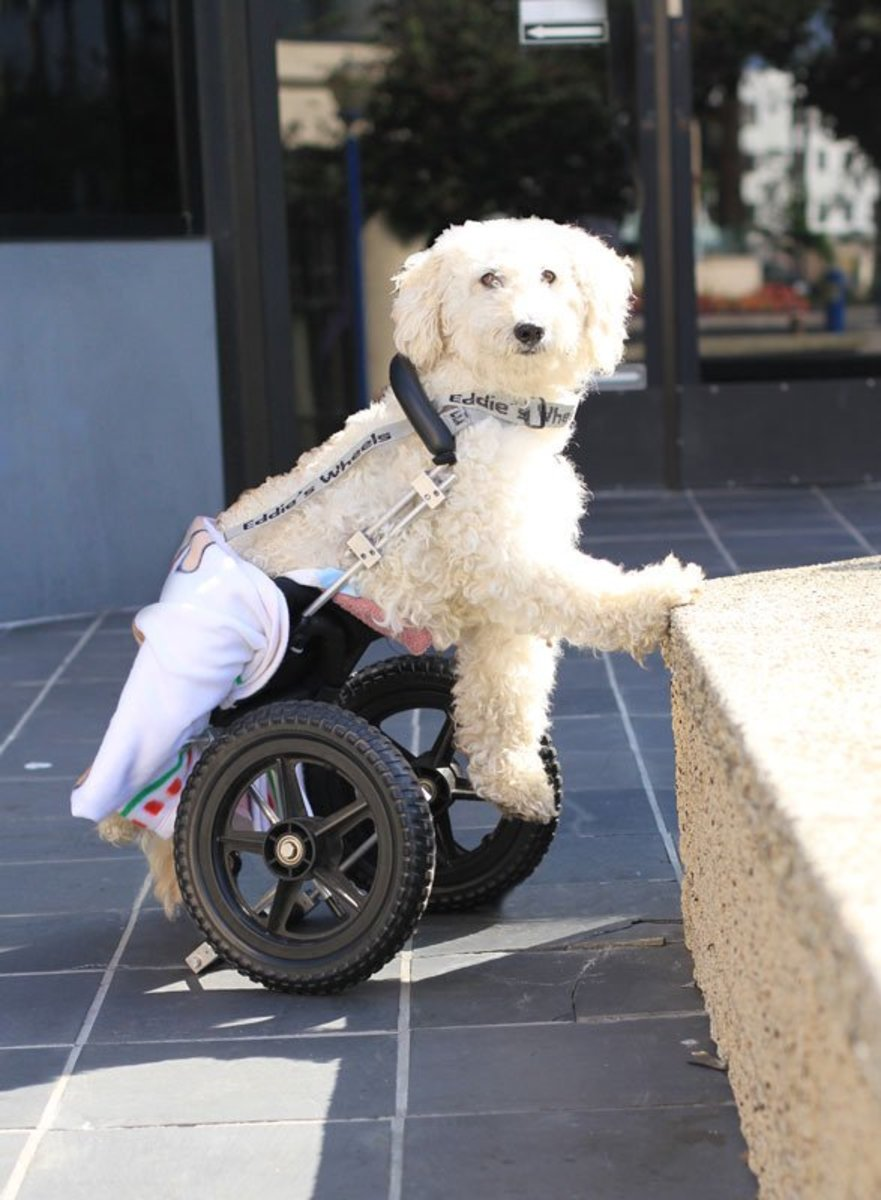 Even if your dog does become paralyzed, there are options like wheelchairs that allow for a good quality of life