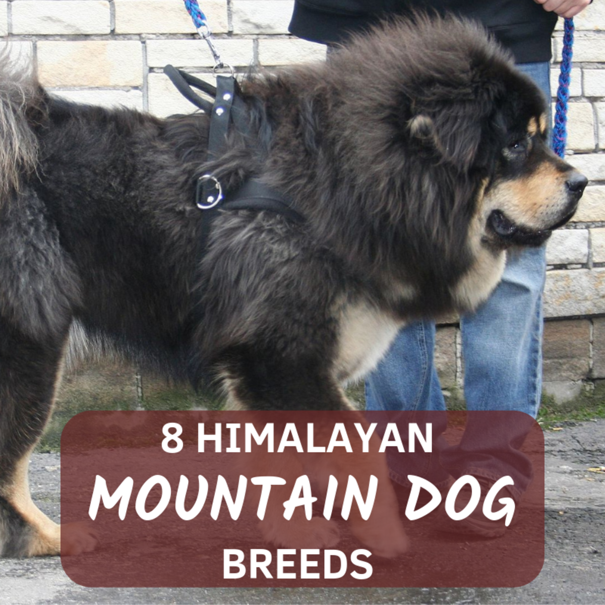 The Himalayan mountain range is is home to some of the largest, fiercest and most loyal dog breeds in the world.