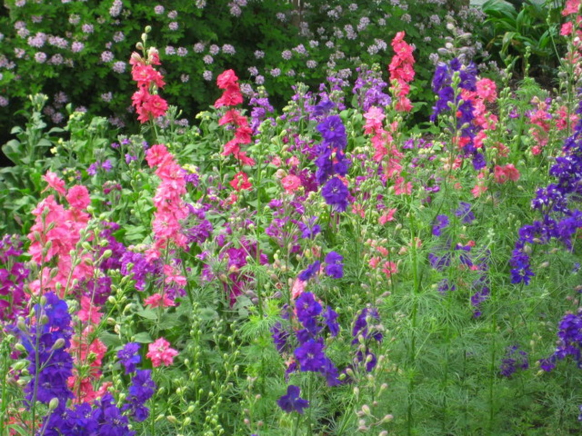 Cottage Garden Favorites: Larkspur