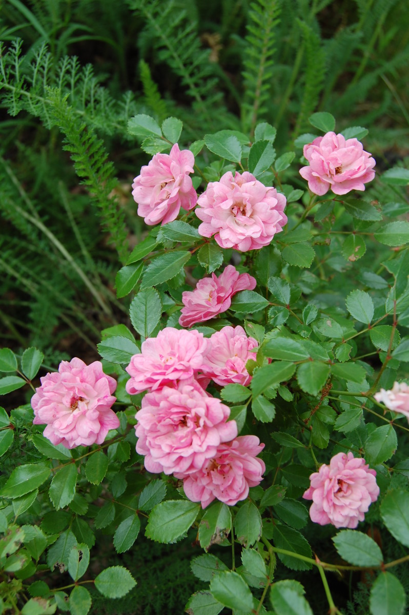 How to Grow The Fairy, an Heirloom Rosebush