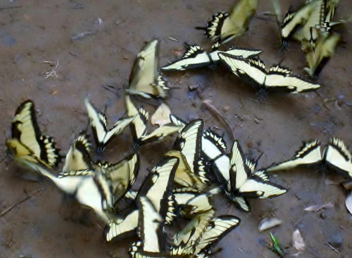 Swallowtails in Argentina swarm in the mud.