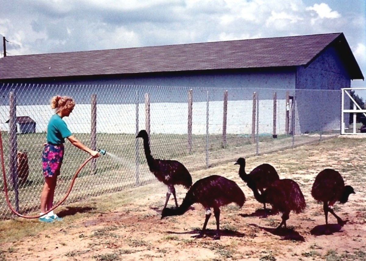 Emu Farming in Texas
