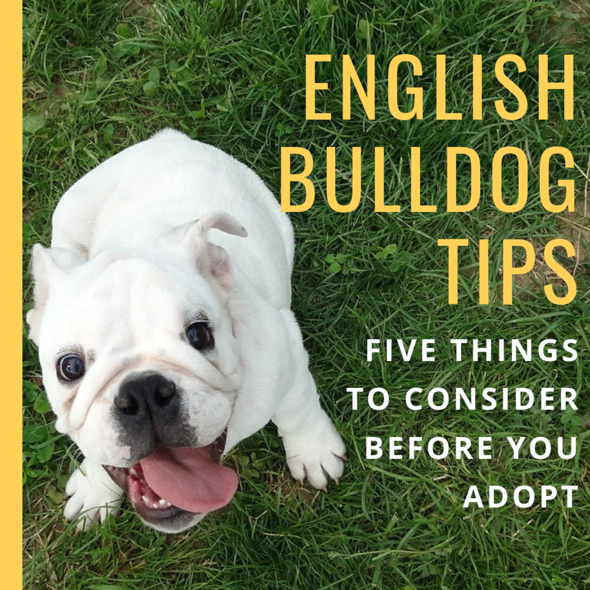 Here are some things to think about before you own an English Bulldog.