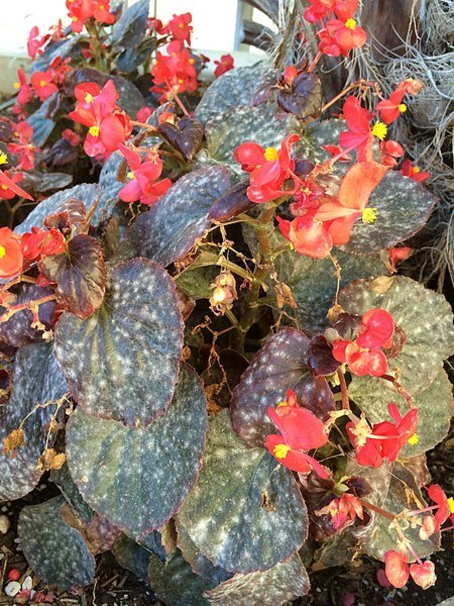 Powdery mildew on a begonia.
