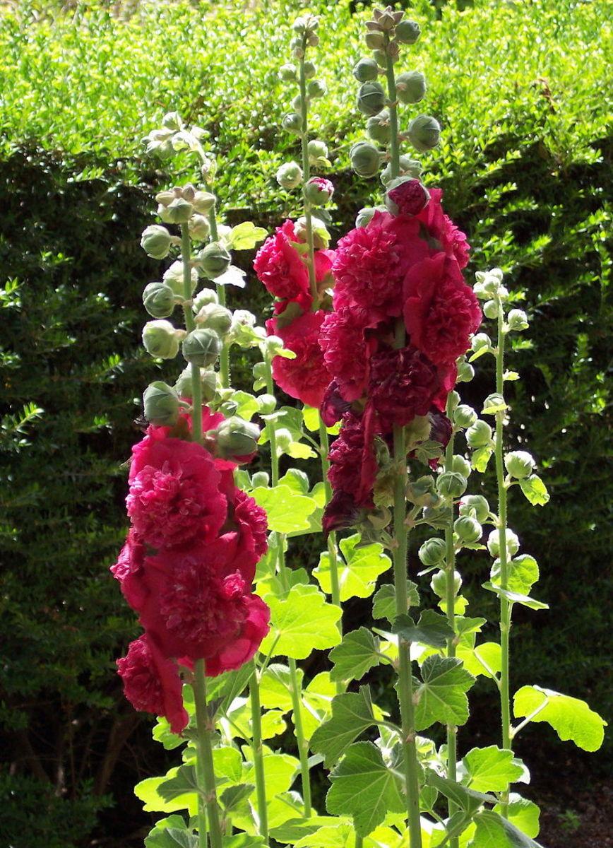 Double flowers look like pom-poms.