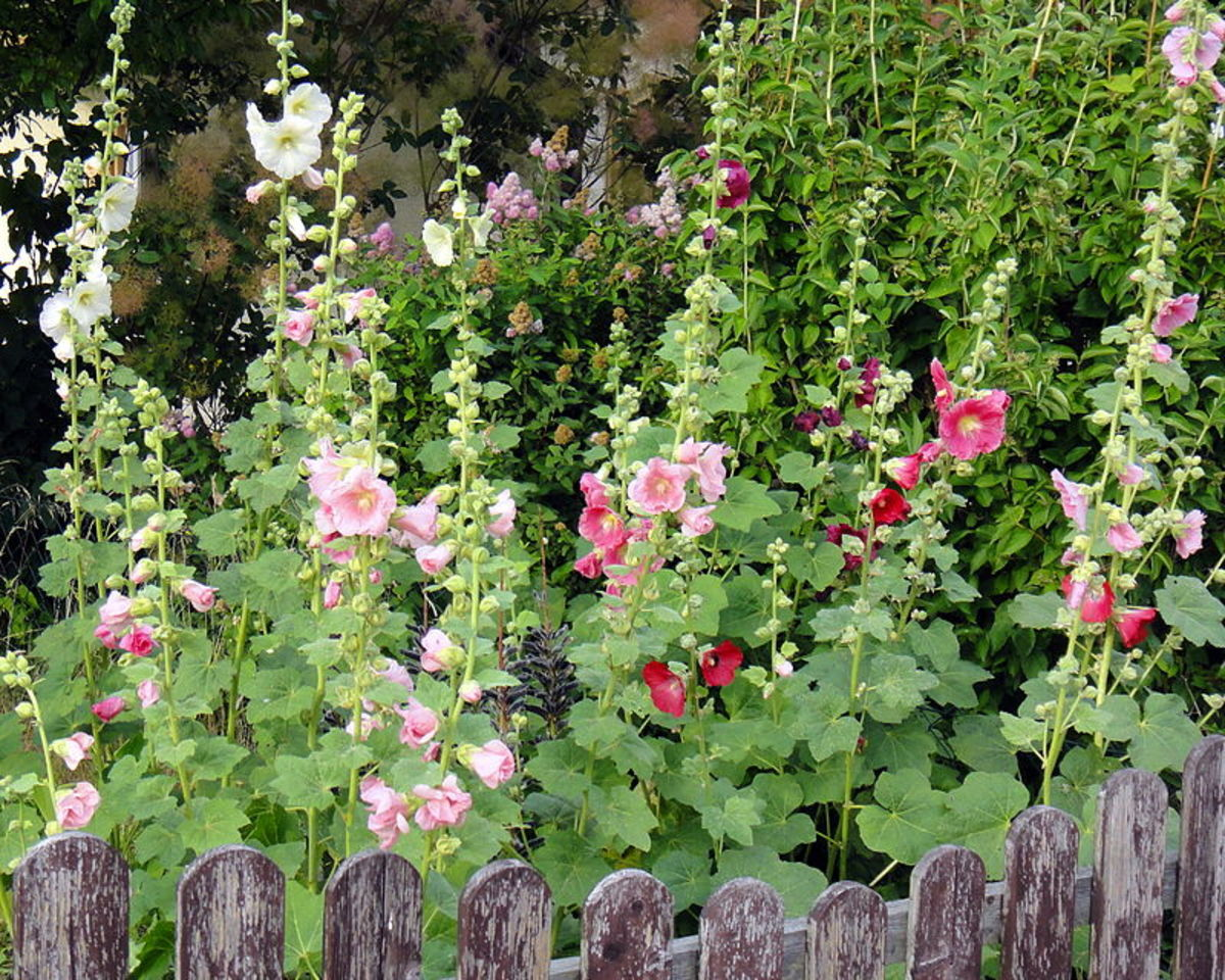 Grow hollyhocks along a fence for support.
