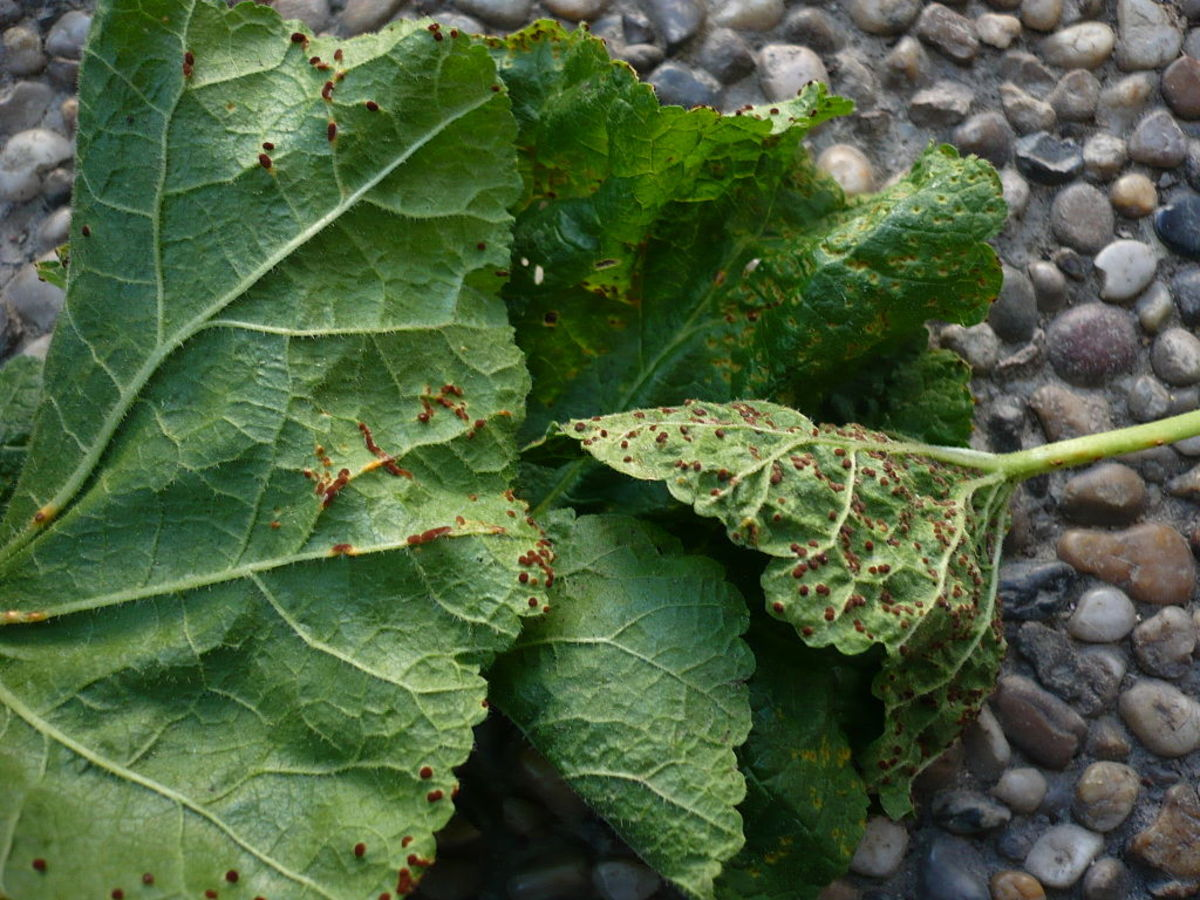 Hollyhock foliage infected with rust