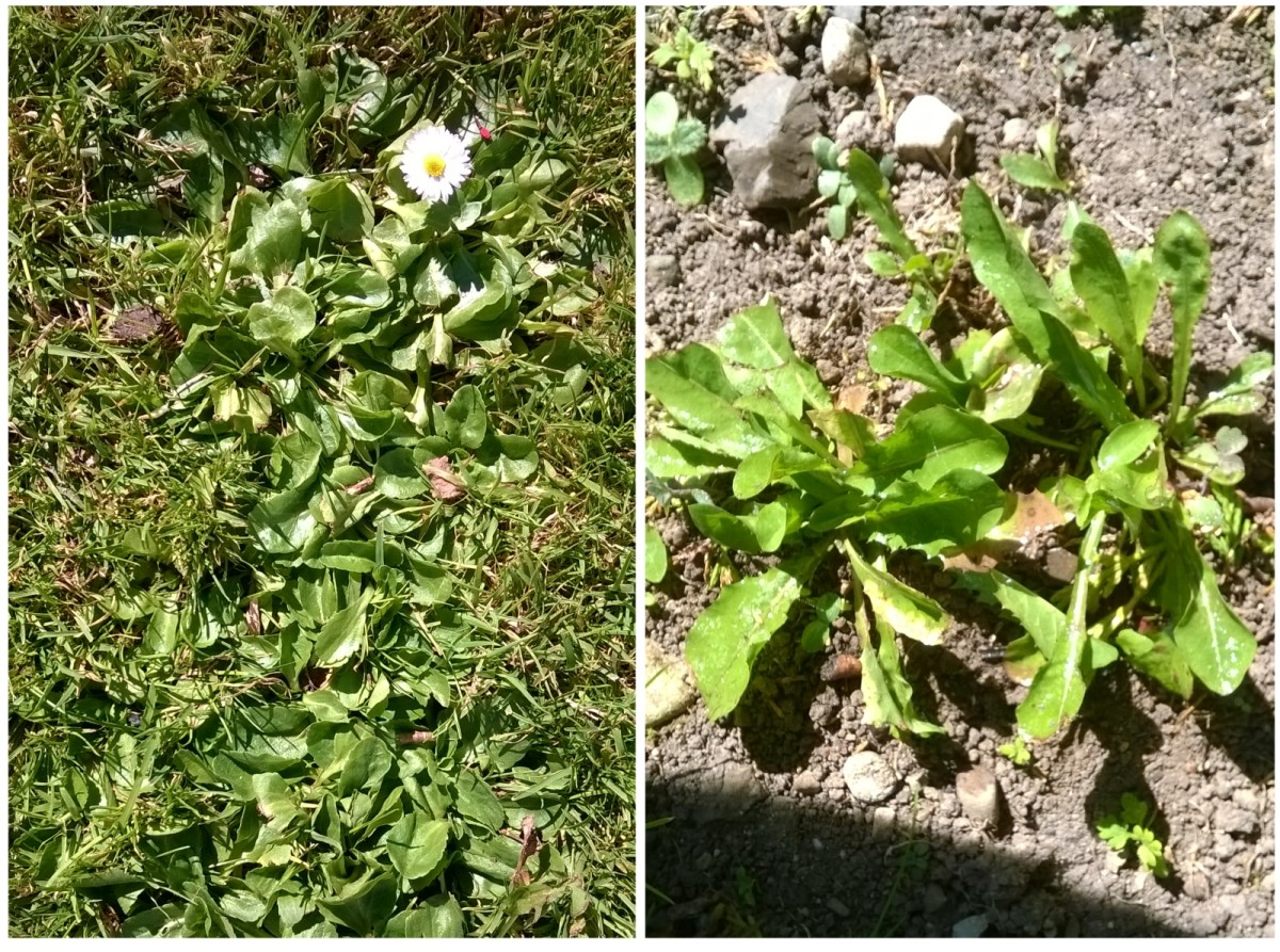 These daisies and dandelions were treated with vinegar. We'll see how effective it is at weed killing  in the coming days!