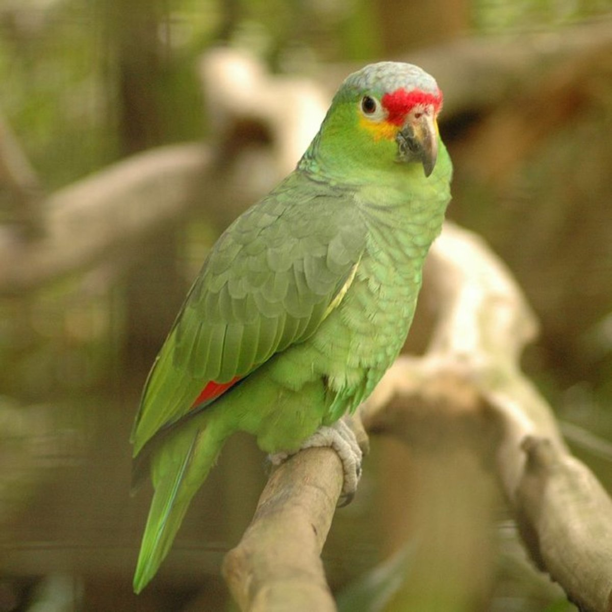 Red-Lored Amazon was a favorite import that is now found wild throughout California.
