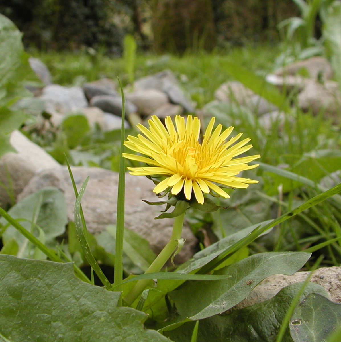 The dandelion is one of the most common and recognisable garden weeds.