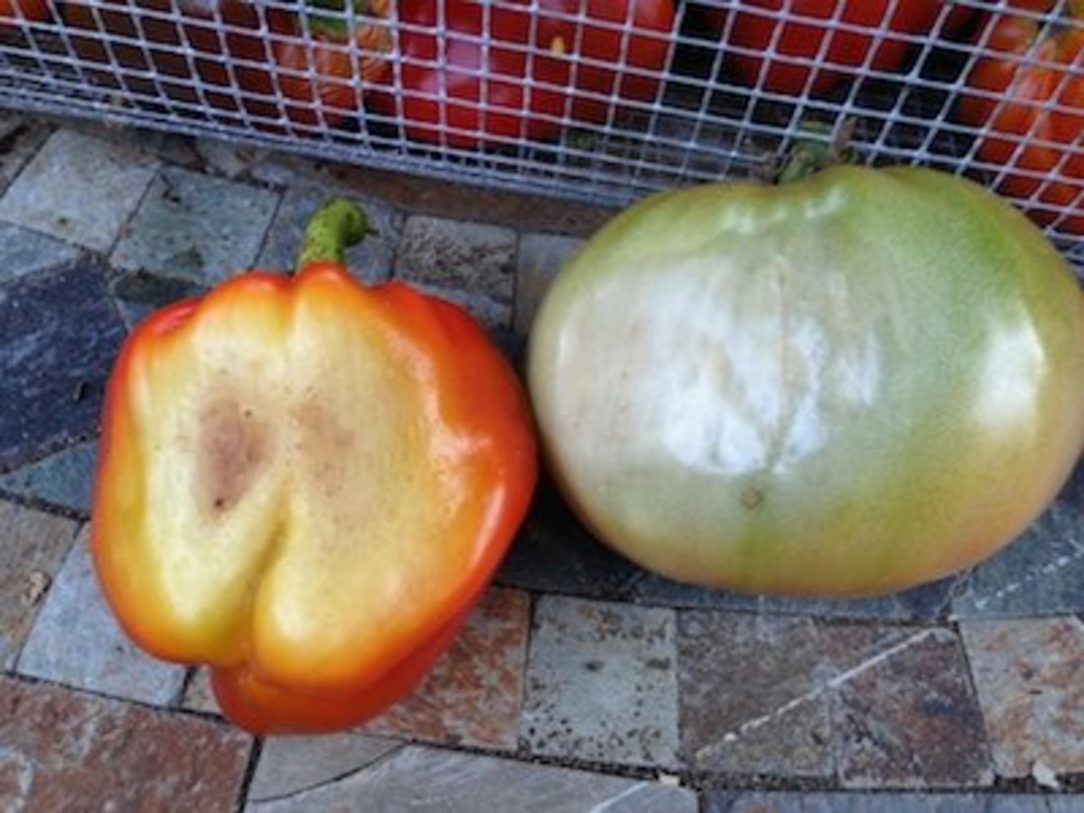 Sun-scalding of tomatoes and peppers is easy to prevent.
