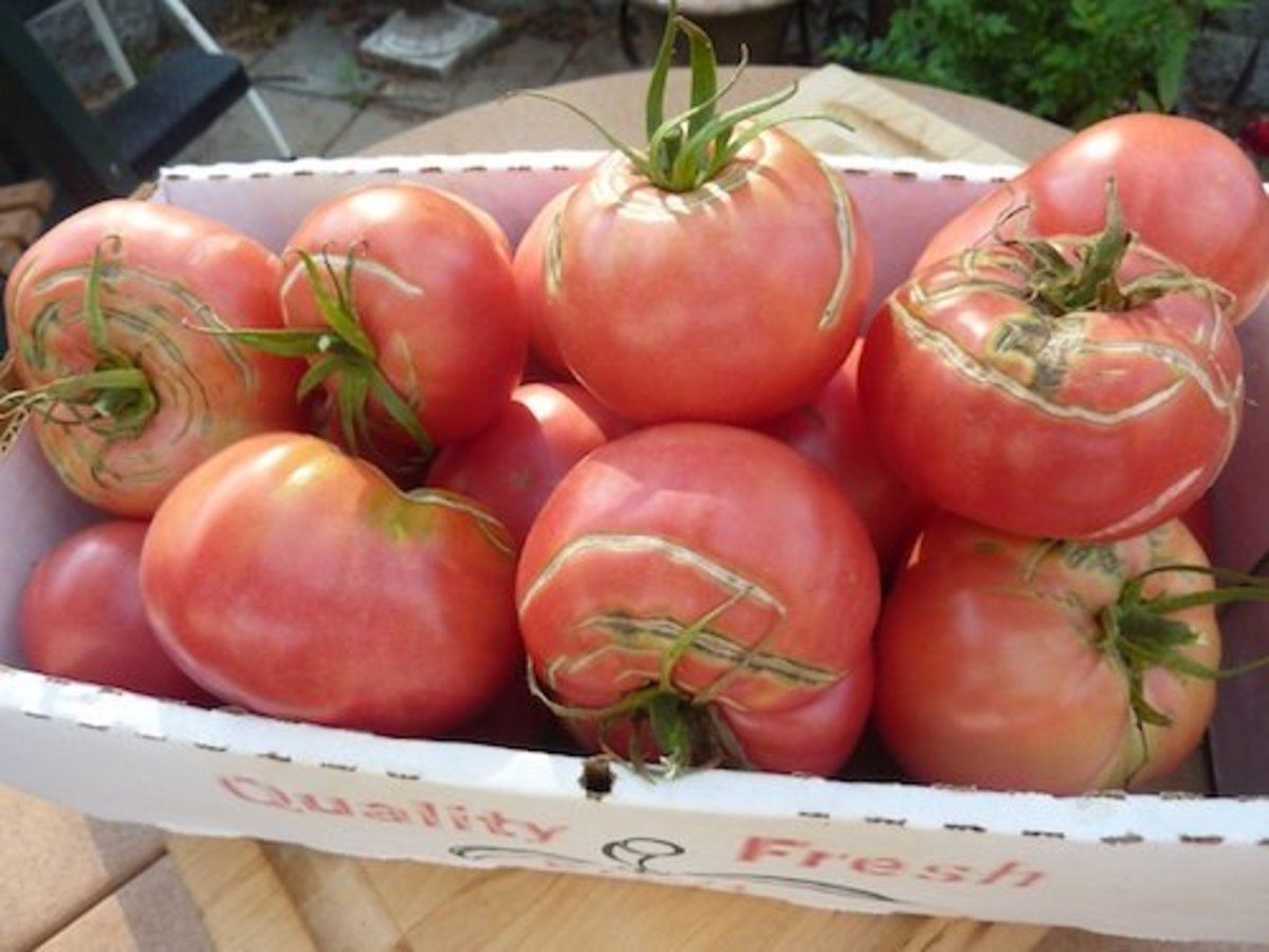 Be consistent. Water plants regularly to reduce tomato cracks or splits.