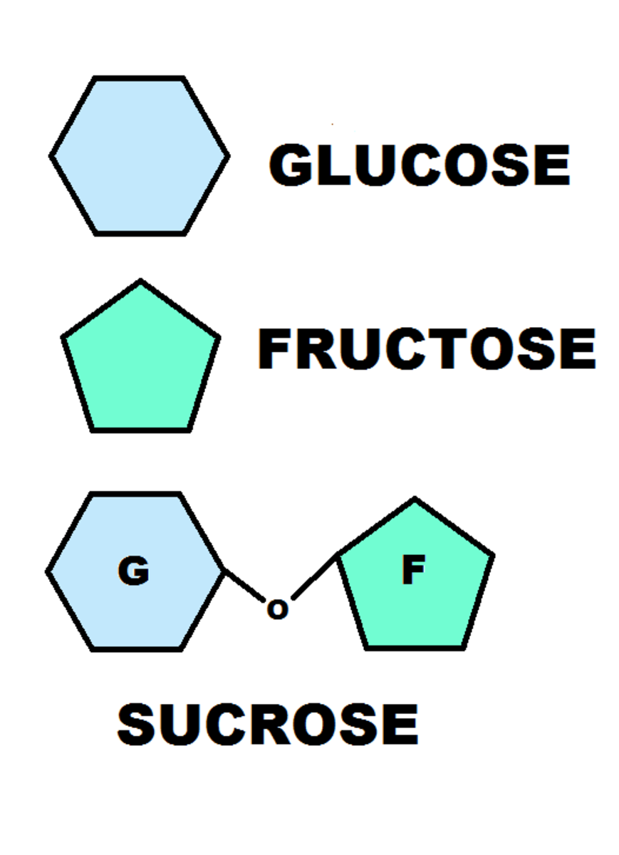 Three of the most ubiquitous carbohydrates in our diet and their basic structures.